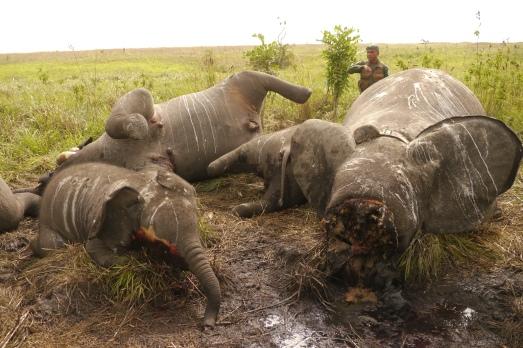Tres crías de elefantes,  masacrads por el marfil en Congo. |Nuria Ortega