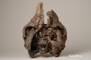 Cráneo del anquilosauro nodosáurido de Ariño.