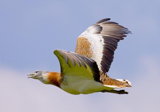 Avutarda en vuelo.|Tatavasco