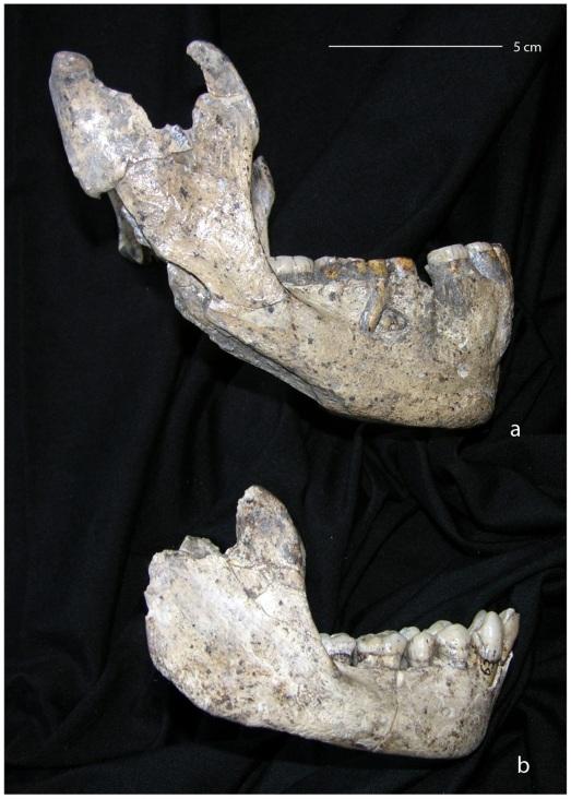 Las dos mandíbulas que son diferentes de Dmanisi. |PlosONE