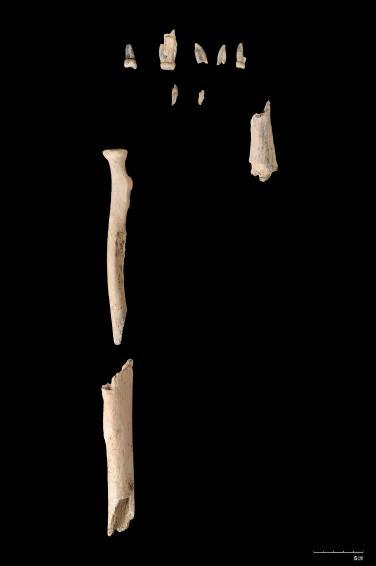 El fósil OH80 encontrado por el equiipo espñol en Olduvai. de un Paranthropo boisei'.