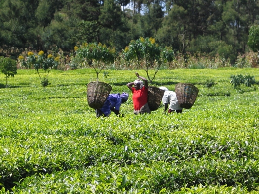 Campesinas de Kenia, cultivando té para exportar. Apenas subsisten con lo que ganan. |ROSA M. TRISTÁN