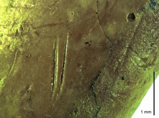 Este tipo de marcas en el fósil de una paloma indican que su carne fue 'cortada' por un humano. |Scientist Report