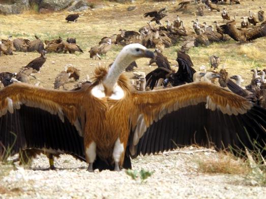 Algunos buitres leonados hacían demostración de su espectacular envergadura. |R.M.T.