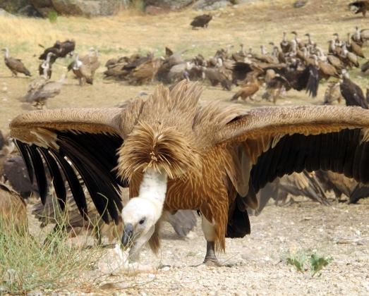 Un buitre leonado, haciendo una reverencia de despedida.| ROSA M. TRISTÁN