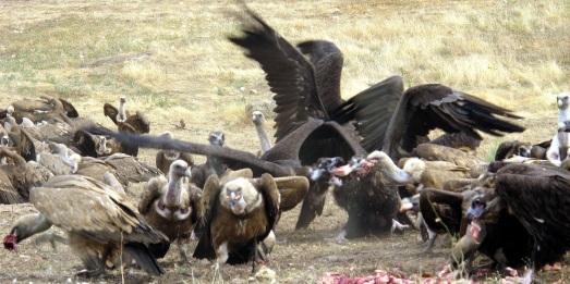 Aquí un buitre leonado y uno negro, disputándose un trozo de carne. |ROSA M. TRISTÁN