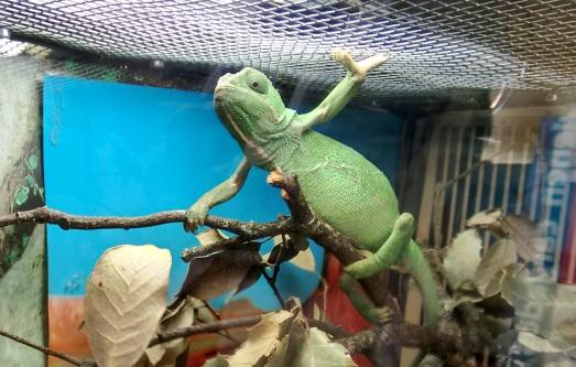 Camaleón que nos da la bienvenida a GREFA. Fue entregado por su propietario, al saber que tenerlo era ilegal. |@ROSA M. TRISTÁN