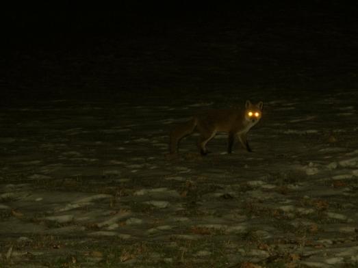Un zorro, en la noche de los alrededores.|ROSA M. TRISTÁN
