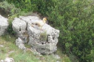 Pirineos Sur 2014 me regaló la vista y el vuelo de este alimoche... Naturaleza y cultura, mezcladas, fusionadas. @Rosa M. Tristán