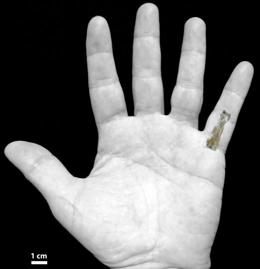 La falange Olduvai Hominin 86 (OH86), comparada con la nuestra.  Nature Communication