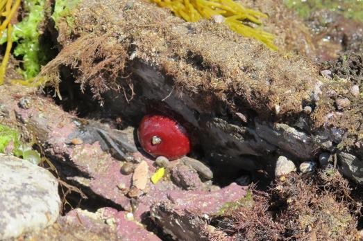 Tomate de mar (Actinia equina), una especie de anémona. /R.M.T.