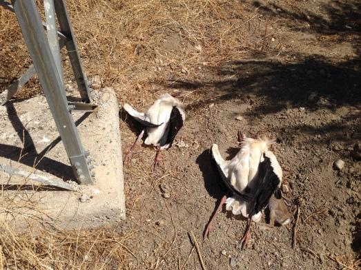 Los cadáveres de dos cigüeñas blancas yacen junto al apoyo de un tendido eléctrico. @SIECE.