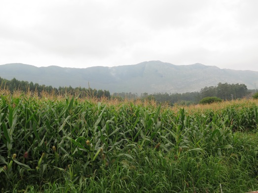 Maíz transgénico en lo que eran pastos asturianos. @RosaTristán